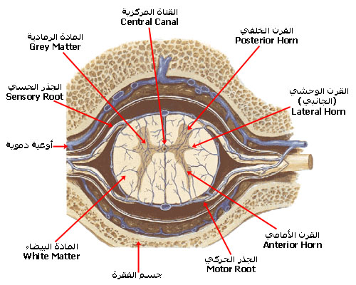 spinal_cord_section.jpg